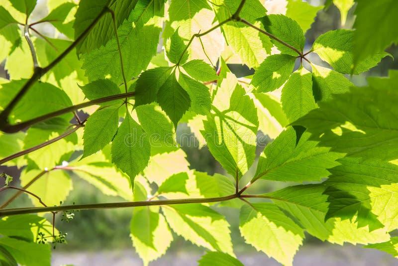folhas do verde na luz solar brilhante fotografia de stock royalty free