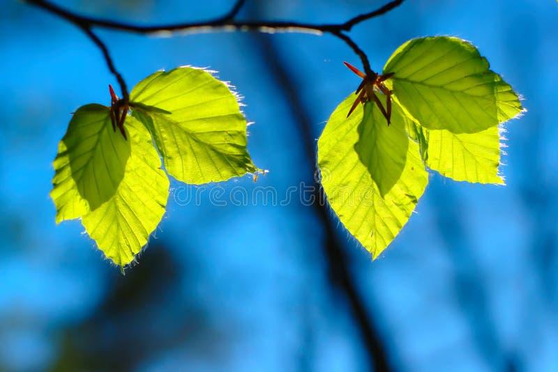 Folhas do verde na mola imagem de stock royalty free