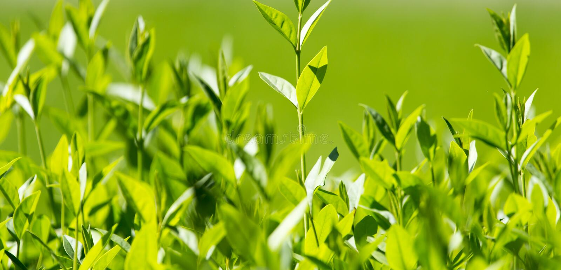 Folhas do verde na planta imagem de stock royalty free