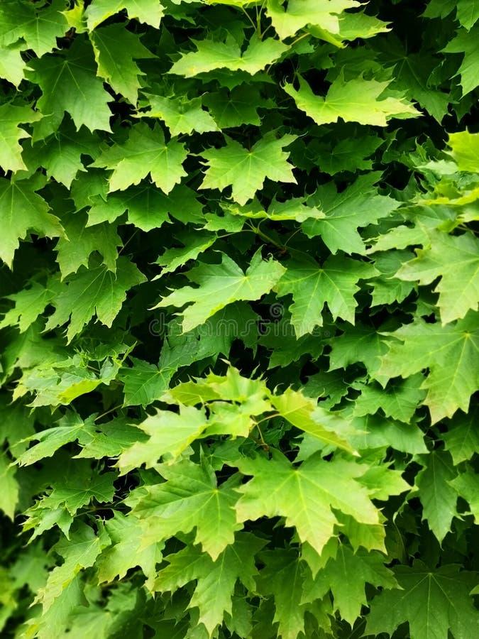 Folhas do verde na ?rvore um conjunto de plantas verdes do bordo imagens de stock royalty free