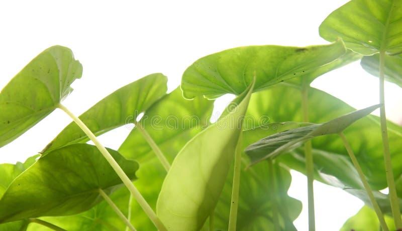 Folhas do verde no fundo branco fotos de stock royalty free