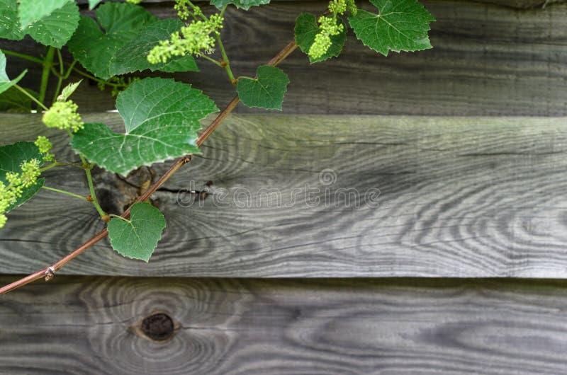 Folhas do verde no fundo de madeira fotos de stock