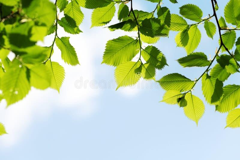 Folhas do verde no fundo do céu azul imagens de stock royalty free