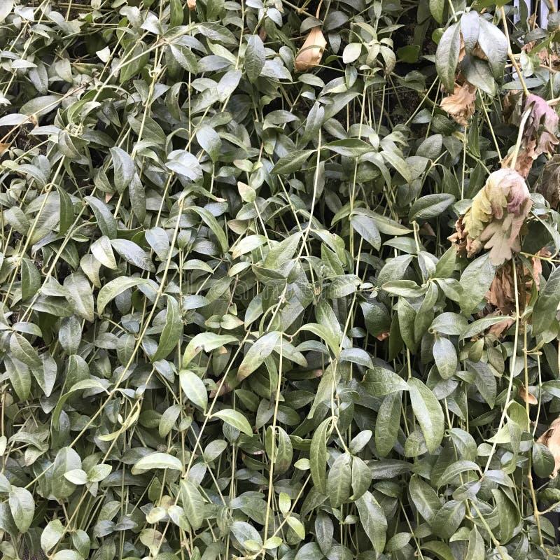 Folhas do verde no fundo do muro de cimento fotos de stock royalty free