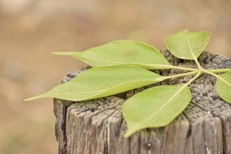 Folhas do verde que encontram-se no tronco de árvore fotografia de stock