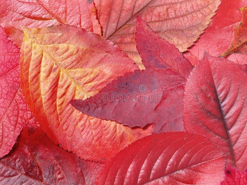 Folhas do vermelho fotos de stock royalty free