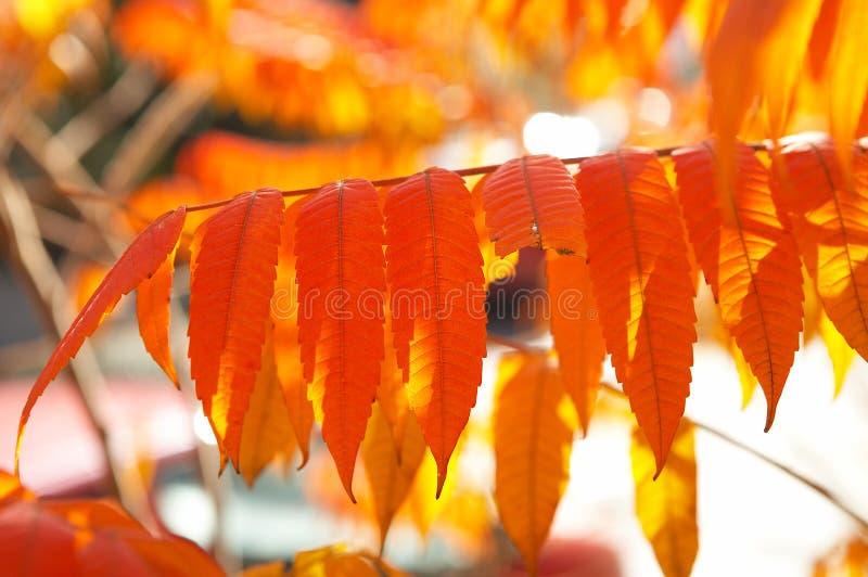 Folhas do vermelho foto de stock