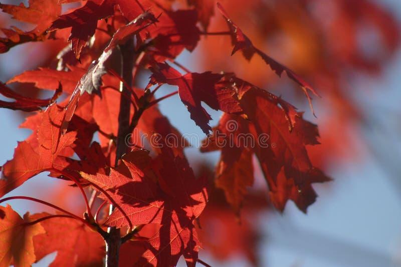 Folhas do vermelho de outubro fotos de stock royalty free