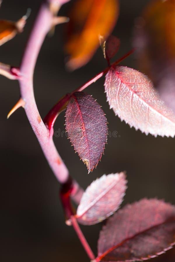 Folhas do vermelho em uma planta fotos de stock