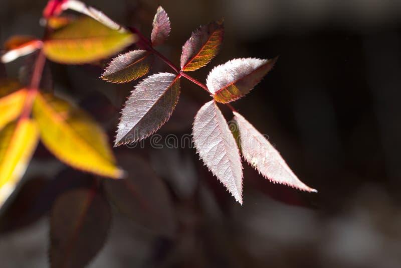 Folhas do vermelho em uma planta fotos de stock royalty free