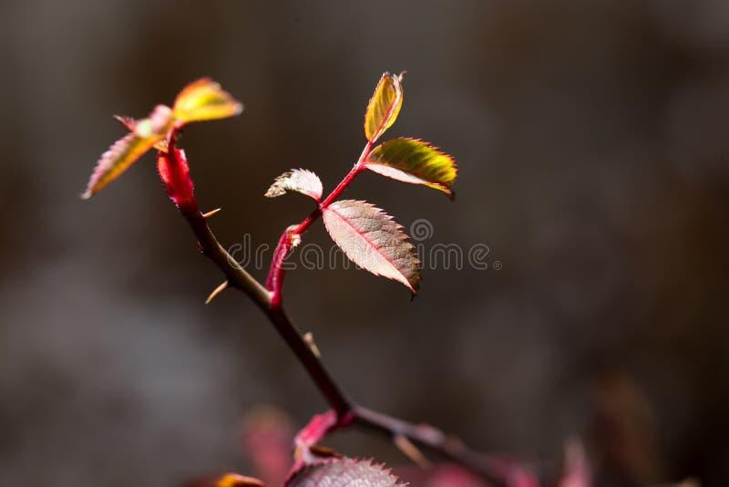 Folhas do vermelho em uma planta fotografia de stock royalty free