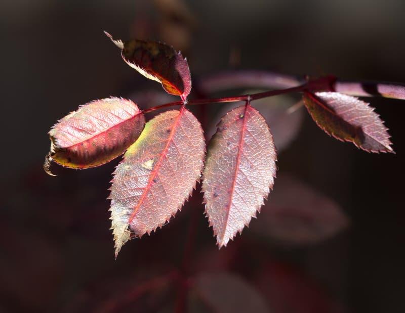 Folhas do vermelho em uma planta foto de stock