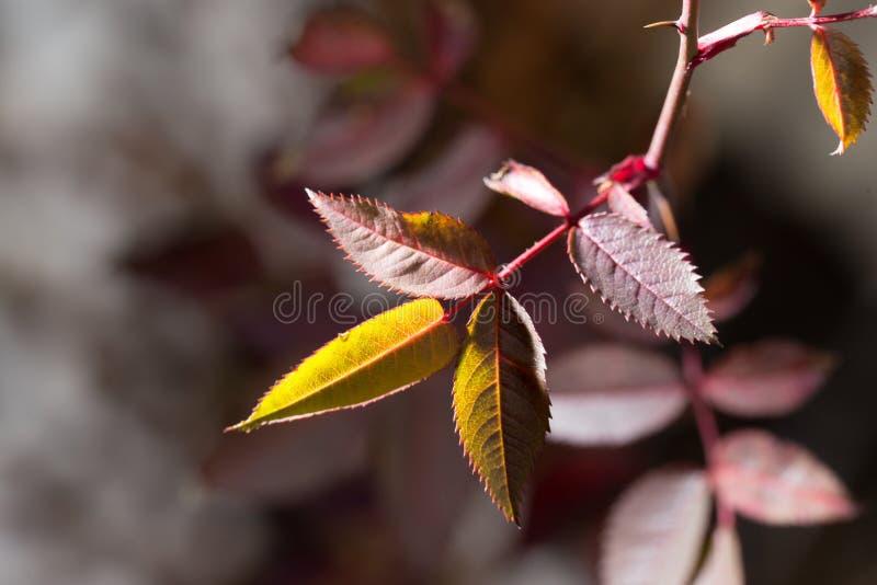 Folhas do vermelho em uma planta imagens de stock royalty free