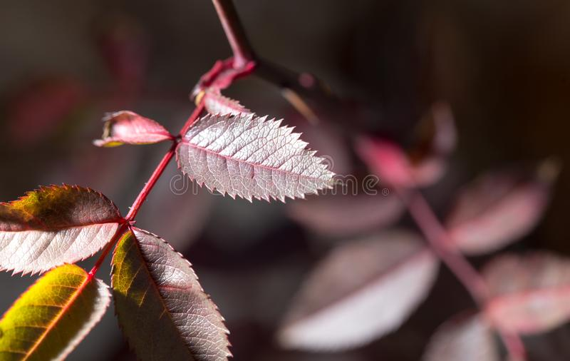 Folhas do vermelho em uma planta imagens de stock