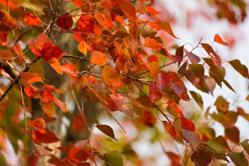 Folhas do vermelho no outono imagem de stock