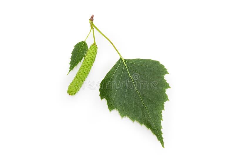 Folhas do vidoeiro e close up do amentilho em um fundo branco fotografia de stock