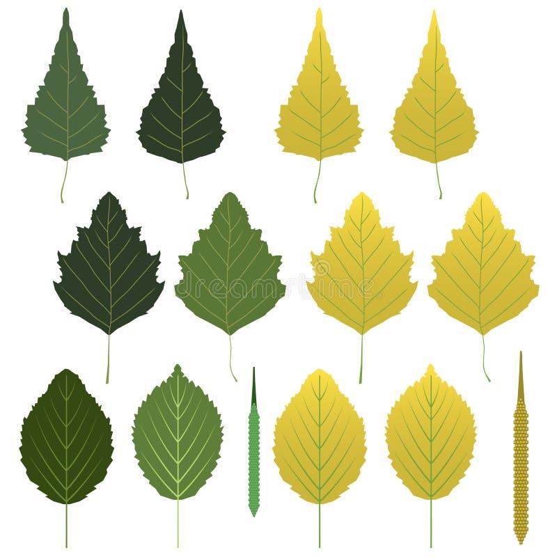 Folhas do vidoeiro e vagens da semente ilustração royalty free