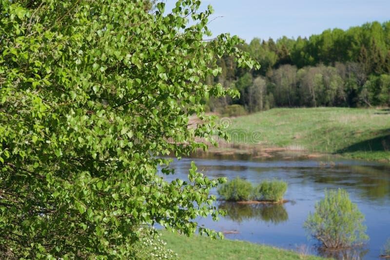 Folhas do vidoeiro no beira-rio foto de stock royalty free