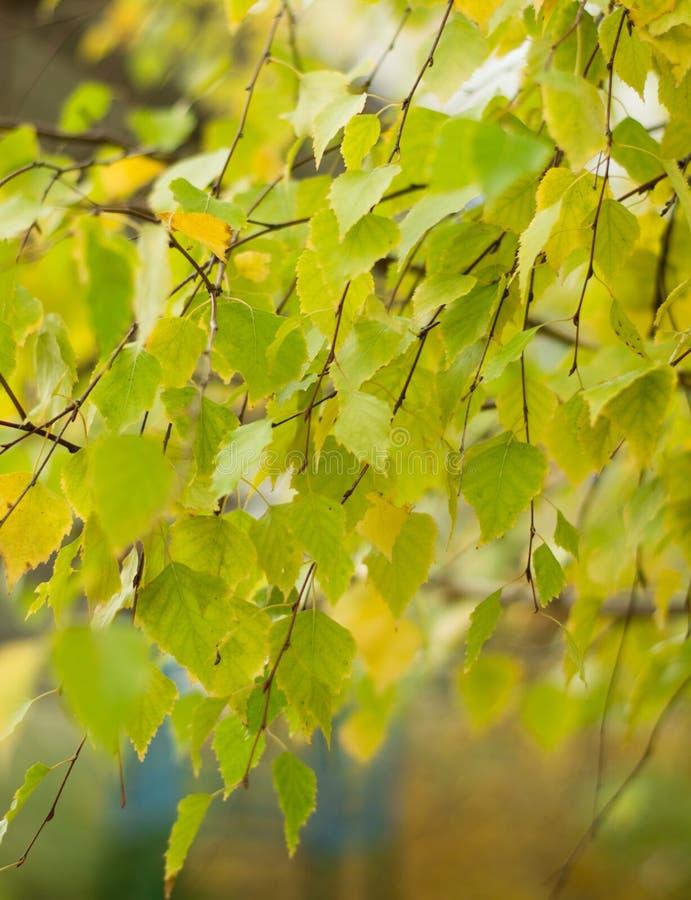 Folhas do vidoeiro no ramo fotos de stock