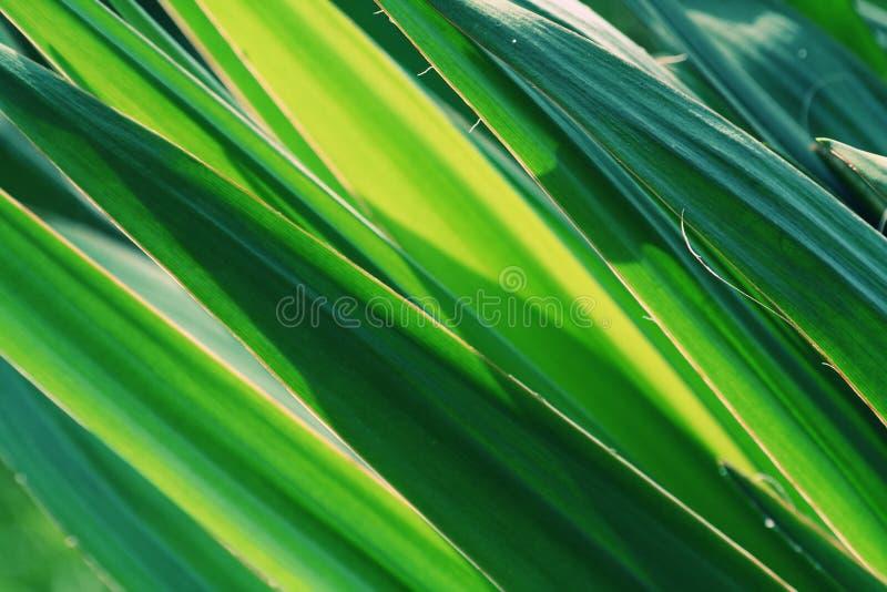 Folhas do Yucca imagens de stock