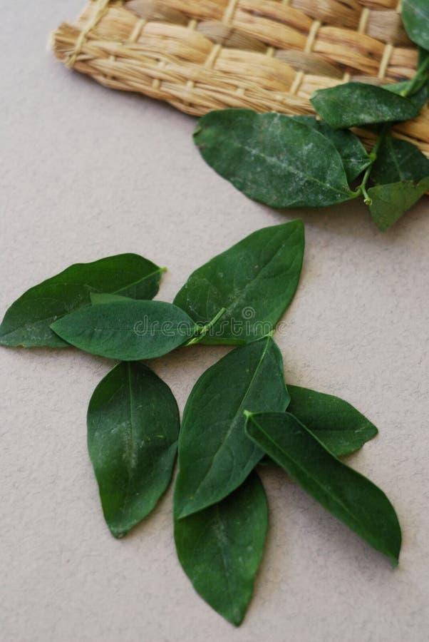Folhas doces da folha de Katuk no fundo neutro imagens de stock royalty free