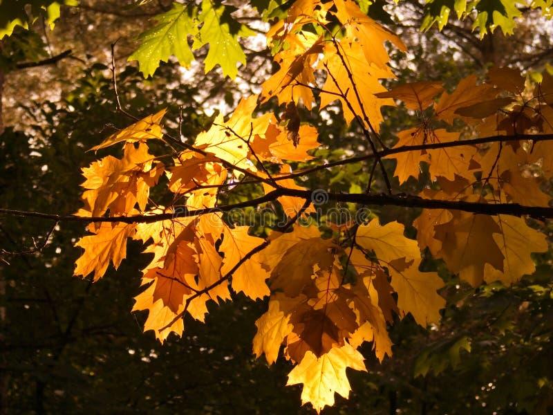 Folhas dos carvalhos do outono foto de stock
