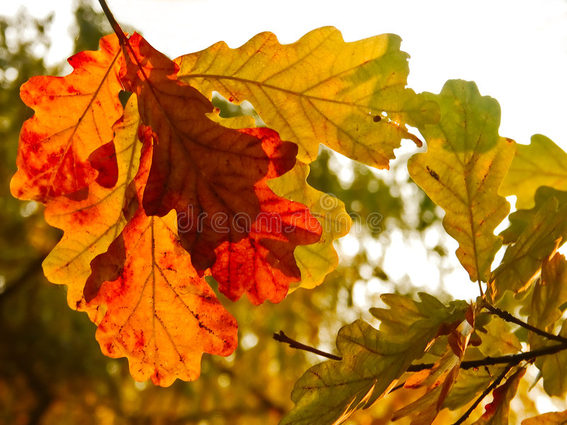 Folhas dos carvalhos do outono fotografia de stock royalty free