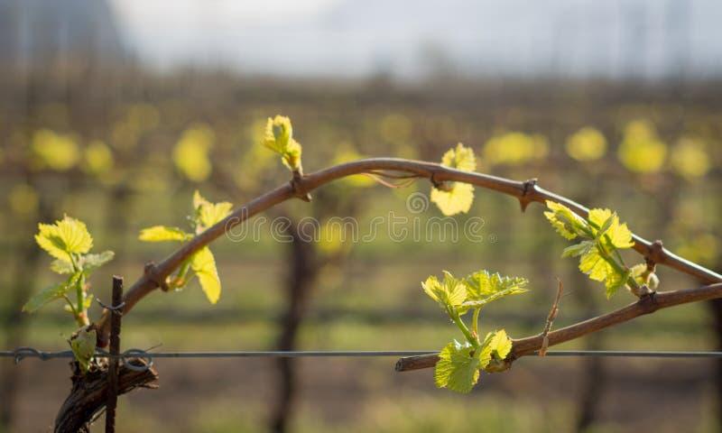 folhas dos jovens no vinhedo na primavera fotos de stock