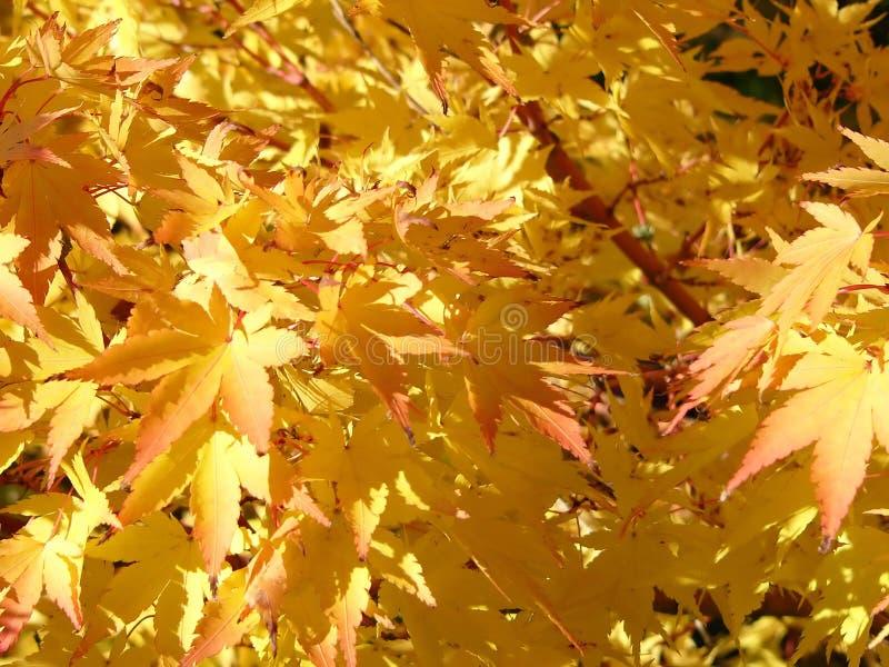 Folhas douradas imagens de stock
