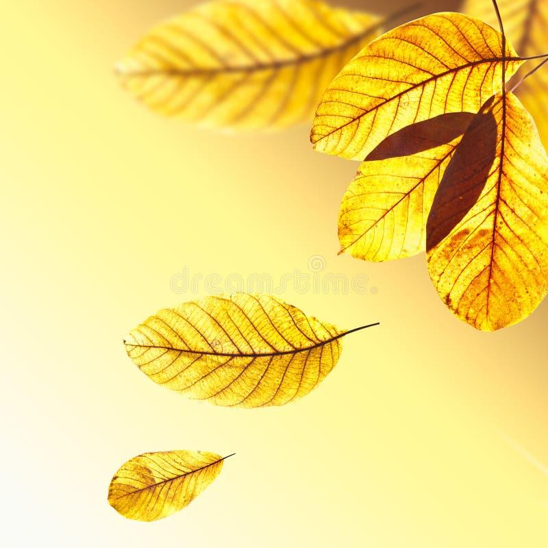 Folhas douradas bonitas da noz foto de stock