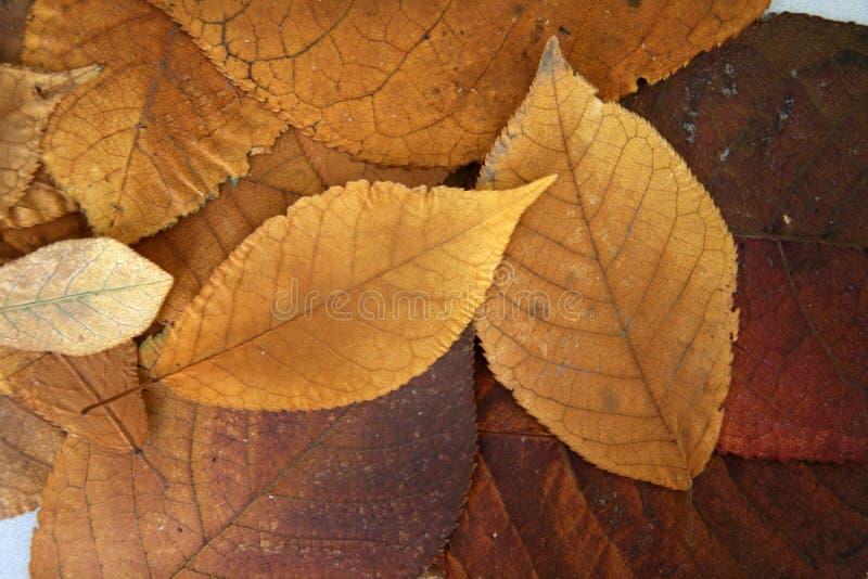 Folhas douradas da queda fotografia de stock