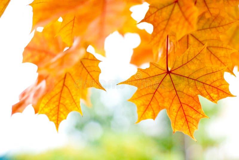 Folhas douradas da queda em Seattle fotografia de stock