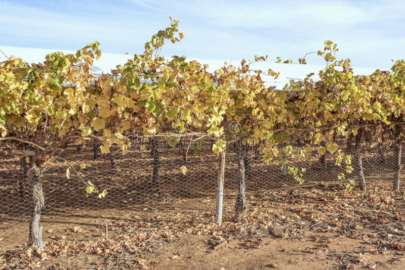 Folhas douradas da uva em videiras no outono foto de stock royalty free