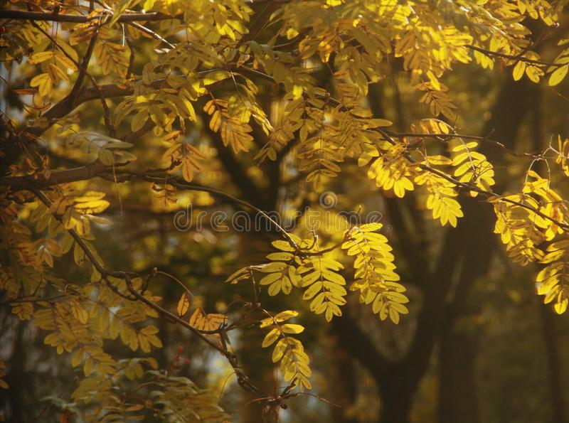Folhas douradas de Rowan foto de stock royalty free