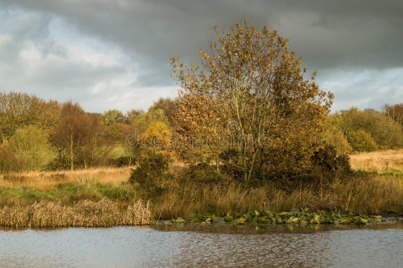 Folhas douradas em uma árvore pelo banco de uma lagoa, com almofadas de lírio imagem de stock royalty free