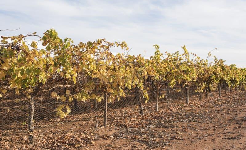 Folhas douradas em vinhas no outono fotografia de stock royalty free