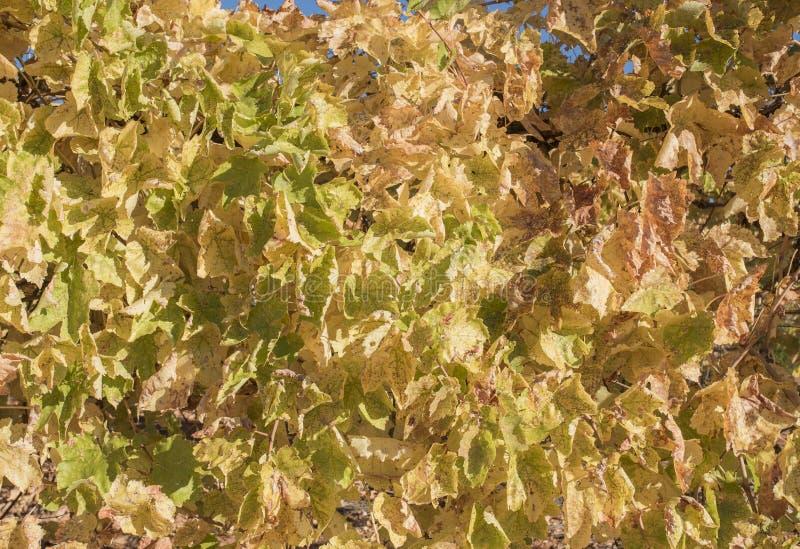Folhas douradas no fundo da vinha foto de stock royalty free