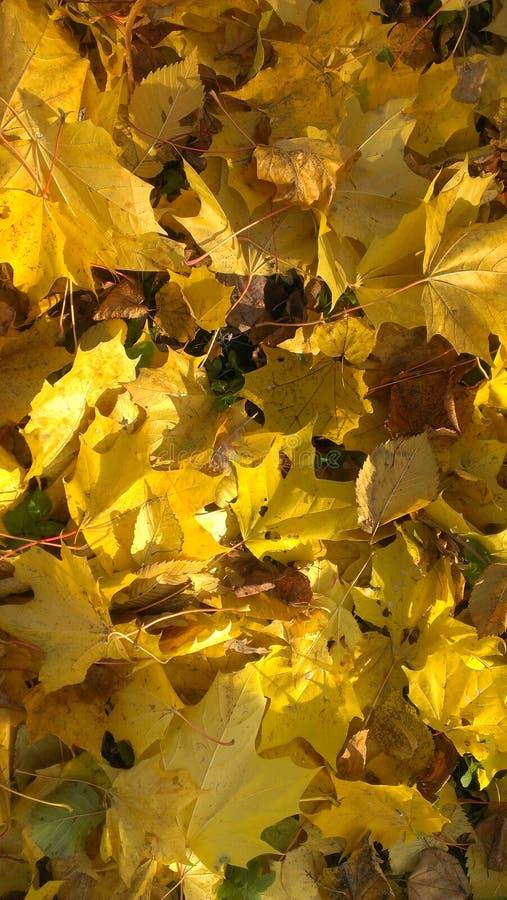 Folhas douradas que farfalham underfoot fotos de stock