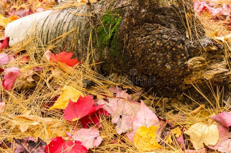 Folhas e árvore Neeedle que cobre a terra no outono imagem de stock