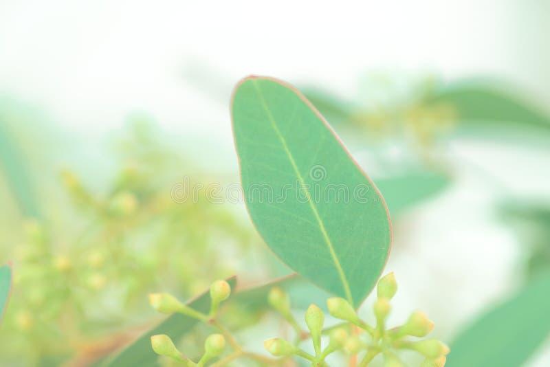 Folhas e botões do eucalipto imagens de stock royalty free