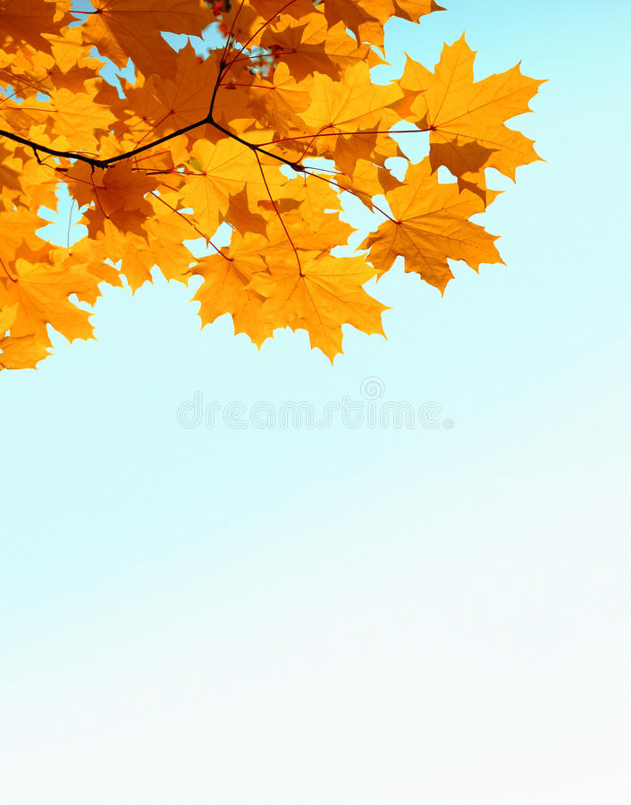 Folhas e copyspase do mapple do outono foto de stock royalty free