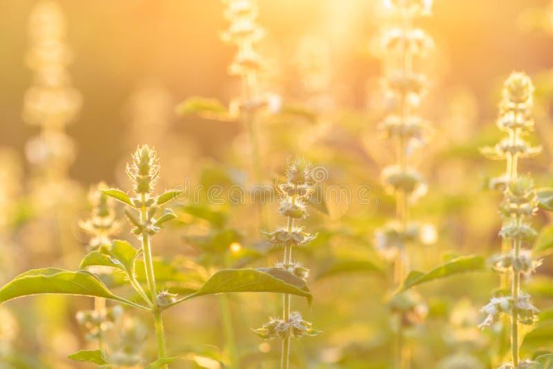 Folhas e flores de macro-flores de Hairy Basil ou manjericão de hoteis da Tailândia fotografia de stock royalty free
