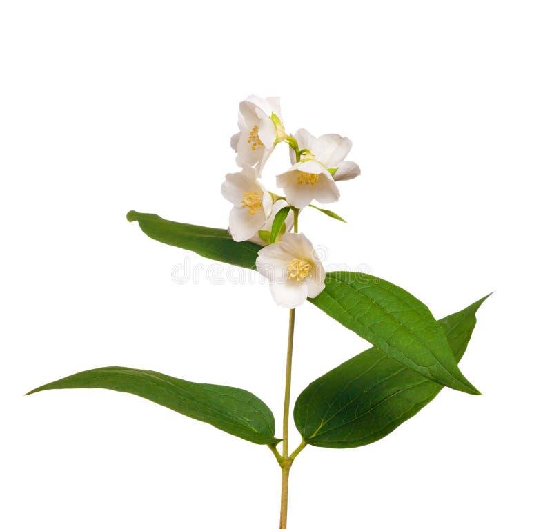 Folhas e flores do jasmim imagem de stock royalty free