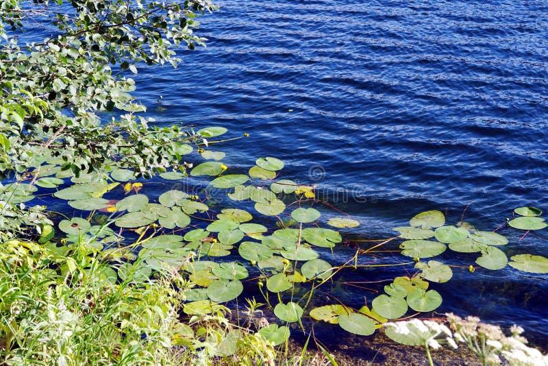 Folhas e flores na água fotografia de stock royalty free