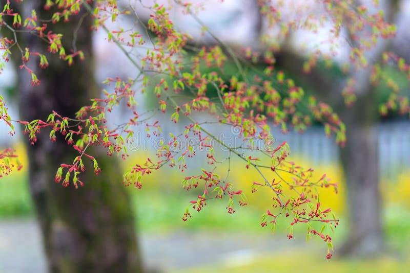 Folhas e flores novas do mapple fotos de stock royalty free