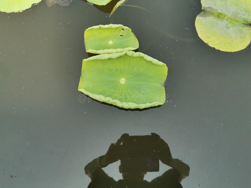 Folhas e fotógrafo de Lotus foto de stock royalty free