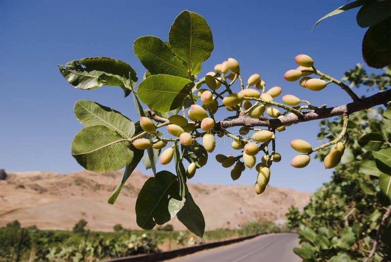 Folhas e frutas do pistachio imagem de stock royalty free