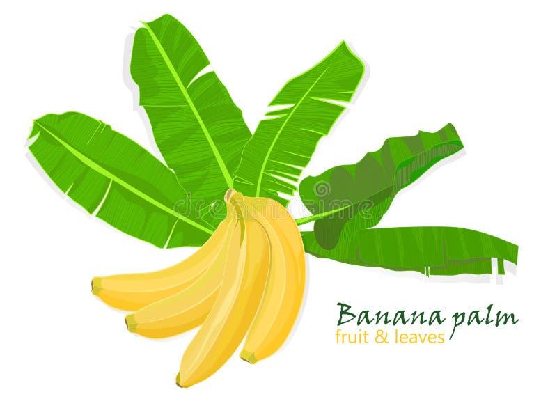Folhas e frutos tropicais da banana da palma do ramo desenho realístico no estilo liso da cor Isolado no fundo branco ilustração stock