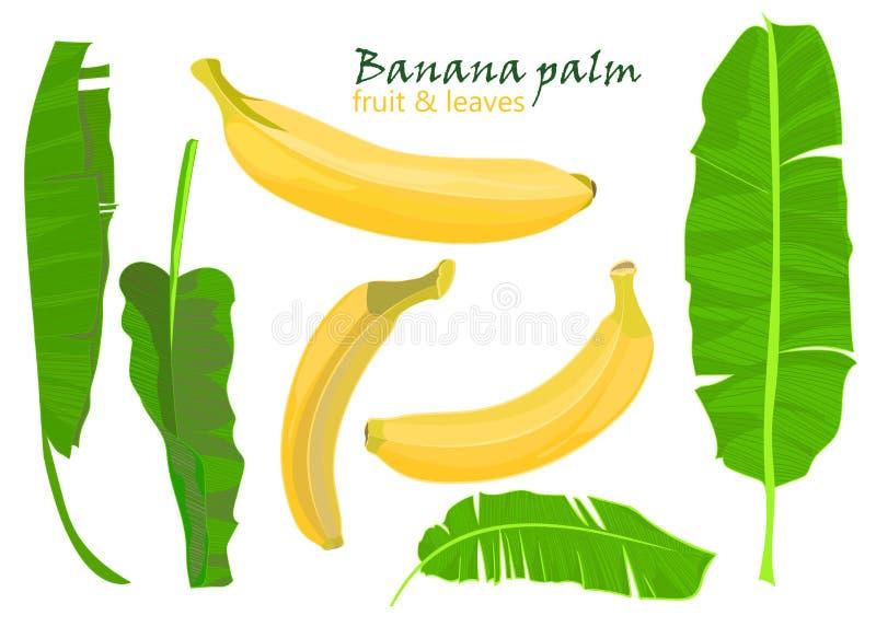 Folhas e frutos tropicais da banana da palma do ramo desenho realístico no estilo liso da cor Isolado no fundo branco ilustração do vetor