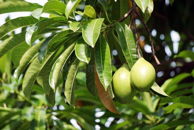 Folhas e frutos verdes do odollam de Cerbera foto de stock royalty free